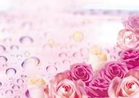 ピンクのバラと雫