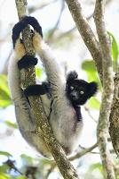 インドリ マダガスカル