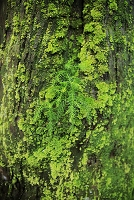 新潟県 巨木杉に杉の若木が育つ 苔