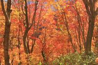 北海道 賀老高原 ブナ林の紅葉