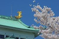 愛知県 桜と名古屋城の金の鯱