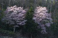 北海道 エゾ山桜