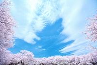 東京都 桜