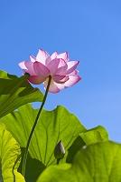 青空とハスの花 上野不忍池