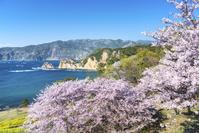 静岡県 黄金崎公園の桜