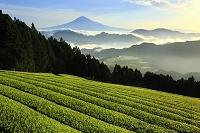 静岡県 清水吉原から望む朝の富士山と茶畑