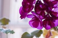窓辺の赤い花