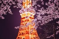 日本 東京タワーと桜