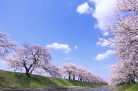 富山県 さくら並木