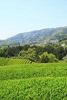 京都府 新茶の茶畑と山並み
