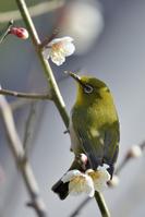 ウメの木に飛来したメジロ 広島県