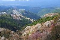 奈良県 吉野山の桜と蔵王堂