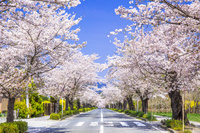日本 埼玉県 長瀞の桜のトンネル