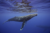 ザトウクジラ ハワイ