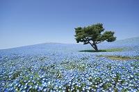 茨城県 ひたち海浜公園・ネモフィラの丘