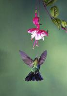 ヒノドハチドリ