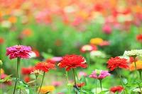 山梨県 花の都公園 百日草