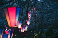 茨城県 桜の木々に光が提灯の明かりが灯る