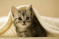 毛布に包まる1匹の子猫