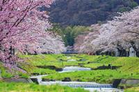 福島県 観音寺川の桜並木