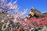 京都府 梅の咲く北野天満宮