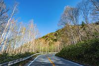 群馬県 片品村 芽吹きはじめた ダケカンバ林と道