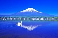 山梨県 富士山と白鳥