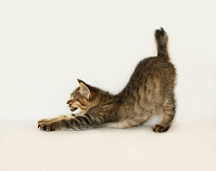 伸びしている子猫