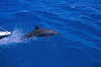 太平洋 キリバス クリスマス島 船と並走するハシナガイルカ