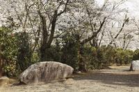 新潟県加茂市 加茂山公園 石碑 雪椿(原種)