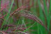 神奈川県 赤米
