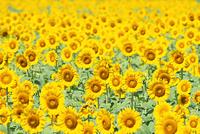 福井県 小浜市 恵のひまわり畑