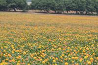 ベニバナ畑