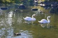 伊丹 昆陽池コブハクチョウとカモ達