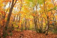 長野県 乗鞍高原 一の瀬園地の紅葉