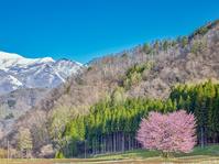 長野県 白馬村 野平の桜
