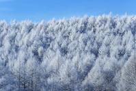 長野県 聖高原の霧氷