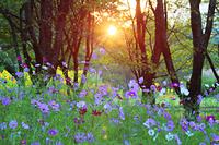 長野県 上田市 独鈷山麓ひまわり畑 コスモスと朝日の木もれ日
