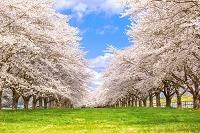 岩手県 サクラ並木
