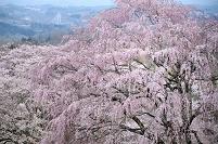 福島県 天皇桜
