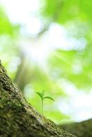 静岡県 富士山西臼塚 新緑のブナから芽吹いた若葉