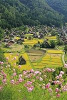 岐阜県 白川郷の合掌造りと稲とコスモス