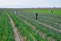 佐賀県 佐賀平野 タマネギ畑