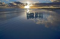 南極 海岸を歩くキングペンギンの群れ