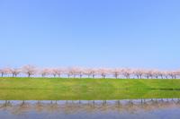 土手に続く桜並木と青空