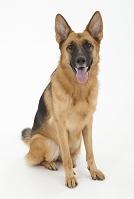 ジャーマンシェパードドッグ お座りをしている犬