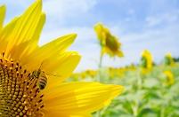 青空とミツバチとヒマワリ