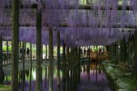 愛知県 天王川公園のフジ