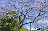 東京都 小石川後楽園のシダレザクラ
