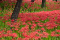 埼玉県 曼珠沙華の花